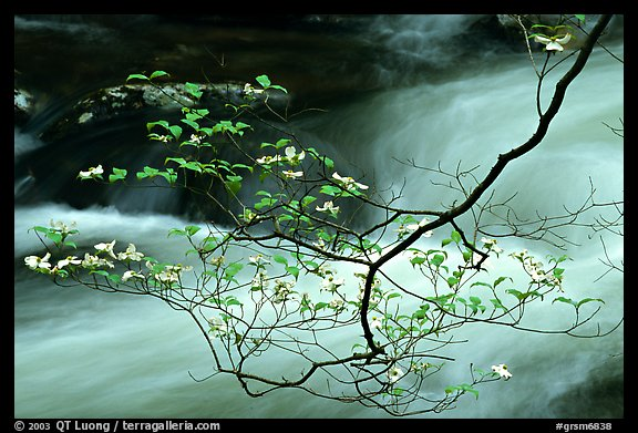 Dogwood branch with white blossoms and flowing stream, Treemont, Tennessee. Great Smoky Mountains National Park (color)