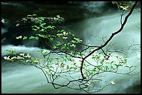 Dogwood branch with white blossoms and flowing stream, Treemont, Tennessee. Great Smoky Mountains National Park, USA. (color)