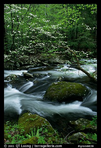 Blooming dogwood and stream flowing over boulders, Middle Prong of the Little River, Tennessee. Great Smoky Mountains National Park, USA.