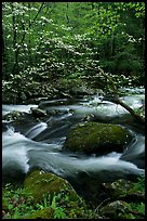 Blooming dogwood and stream flowing over boulders, Middle Prong of the Little River, Tennessee. Great Smoky Mountains National Park, USA. (color)