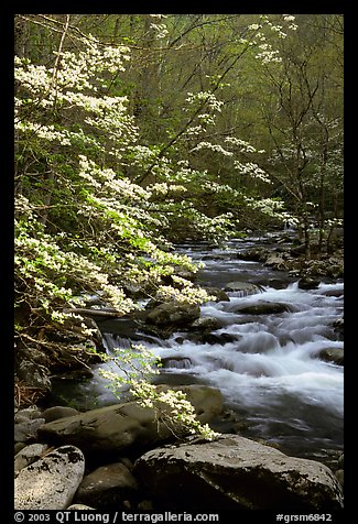 Blooming dogwoods along the Middle Prong of the Little River, Tennessee. Great Smoky Mountains National Park (color)