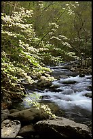 Blooming dogwoods along the Middle Prong of the Little River, Tennessee. Great Smoky Mountains National Park, USA. (color)