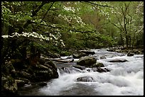 Dogwoods overhanging river with cascades, Treemont, Tennessee. Great Smoky Mountains National Park ( color)