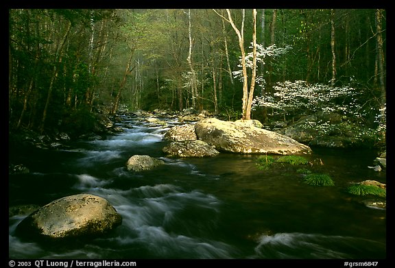 Blossoming Dogwoods, late afternoon sun, Middle Prong of the Little River, Tennessee. Great Smoky Mountains National Park (color)