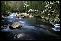 Stream and dogwoods in bloom, Middle Prong of the Little River, late afternoon, Tennessee. Great Smoky Mountains National Park, USA. (color)