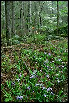 Crested Dwarf Irises in Forest, Roaring Fork, Tennessee. Great Smoky Mountains National Park, USA.