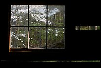 Dogwood blossoms seen from inside log cabin of Jim Bales, Tennessee. Great Smoky Mountains National Park, USA.