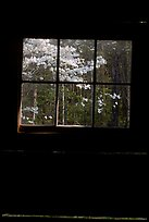 Dogwood blooms seen from the window of Jim Bales cabin, Tennessee. Great Smoky Mountains National Park, USA.