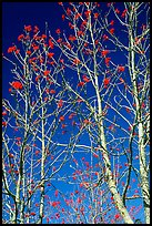 Mountain Ash berries againstblue sky, North Carolina. Great Smoky Mountains National Park, USA.