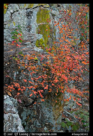 Shrub with red leaves, and moss-covered rock, Gulpha Gorge. Hot Springs National Park (color)