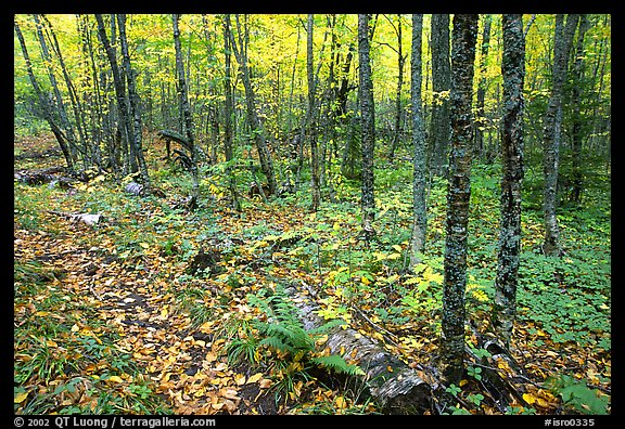 Forest in fall, Windego. Isle Royale National Park (color)