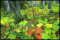 Forest in fall, Windego. Isle Royale National Park, Michigan, USA. (color)