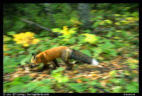 Red fox. Isle Royale National Park (color)