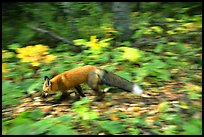 Red fox. Isle Royale National Park, Michigan, USA. (color)
