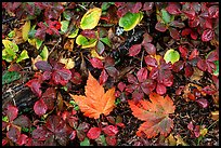 Forest floor detail in autumn. Isle Royale National Park, Michigan, USA. (color)