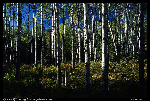 Birch trees near Mt Franklin trail. Isle Royale National Park (color)