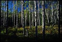 Birch trees near Mt Franklin trail. Isle Royale National Park, Michigan, USA. (color)