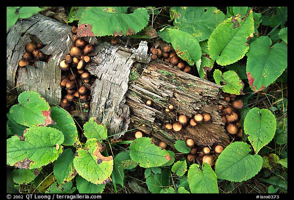 Log and mushrooms. Isle Royale National Park (color)