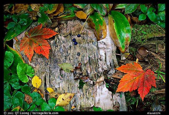 Maple leaves and weathered wood. Isle Royale National Park, Michigan, USA.