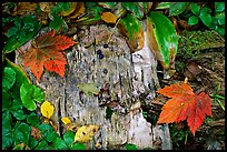 Maple leaves and weathered wood. Isle Royale National Park, Michigan, USA. (color)