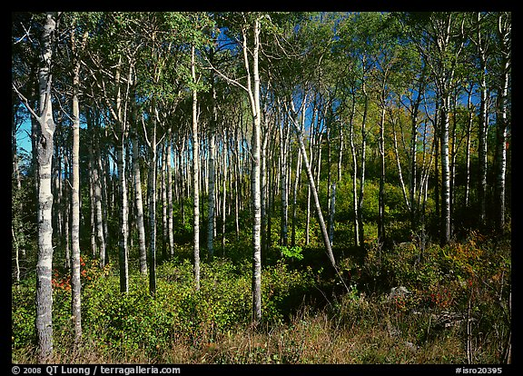 Sunny birch forest. Isle Royale National Park (color)