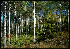 Sunny birch forest. Isle Royale National Park, Michigan, USA. (color)