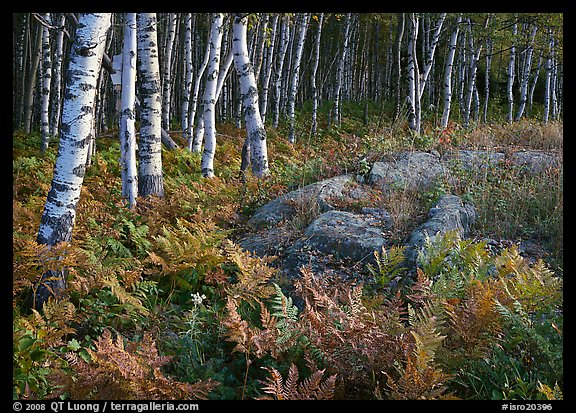Birch trees on Greenstone ridge. Isle Royale National Park, Michigan, USA.