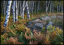 Birch trees on Greenstone ridge. Isle Royale National Park ( color)