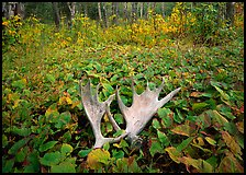 Moose antlers, Windego. Isle Royale National Park, Michigan, USA. (color)