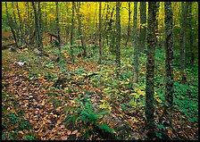 Forest in fall, Windego. Isle Royale National Park, Michigan, USA.