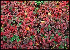 Berry leaves on forest floor in autumn. Isle Royale National Park ( color)