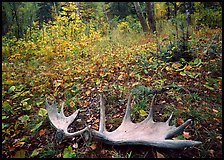 Fallen moose antlers in autumn forest. Isle Royale National Park, Michigan, USA. (color)