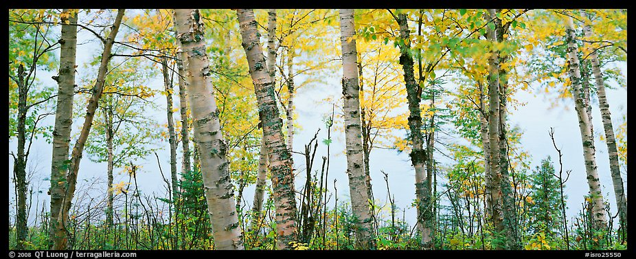 Birch trees with yellow autumn leaves. Isle Royale National Park (color)