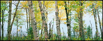 Birch trees with yellow autumn leaves. Isle Royale National Park (Panoramic color)