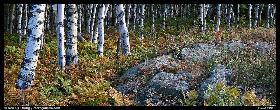 Ferns and north woods forest in autumn. Isle Royale National Park (color)