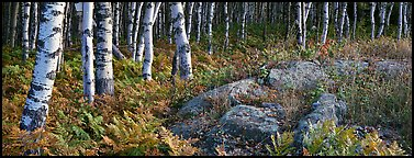 Ferns and north woods forest in autumn. Isle Royale National Park, Michigan, USA.