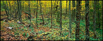 Deciduous forest in autumn. Isle Royale National Park (Panoramic color)