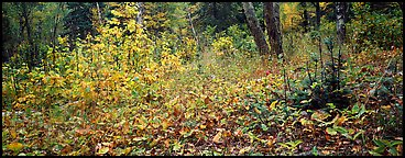 Forest floor in the fall. Isle Royale National Park (Panoramic color)