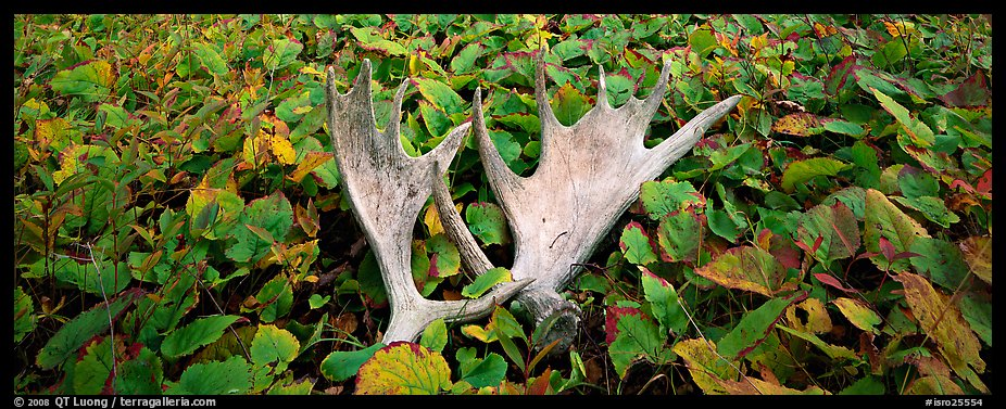 Fallen moose antlers and forest floor in autumn. Isle Royale National Park (color)