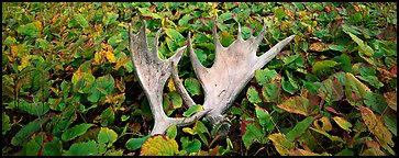 Fallen moose antlers and forest floor in autumn. Isle Royale National Park, Michigan, USA.