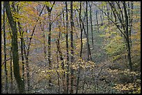 Forest in fall color. Mammoth Cave National Park, Kentucky, USA. (color)
