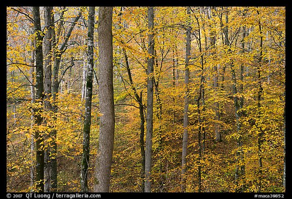 Deciduous trees with yellow leaves. Mammoth Cave National Park (color)