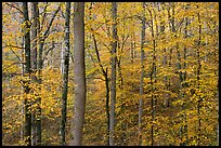 Deciduous trees with yellow leaves. Mammoth Cave National Park, Kentucky, USA.