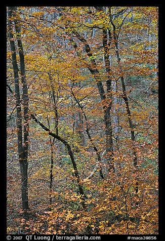Trees with leaves in fall color. Mammoth Cave National Park (color)