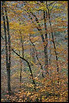 Trees with leaves in fall color. Mammoth Cave National Park, Kentucky, USA. (color)