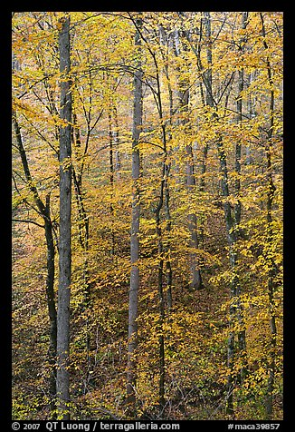Trees with leaves turned yellow. Mammoth Cave National Park (color)