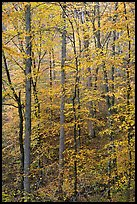 Trees with leaves turned yellow. Mammoth Cave National Park, Kentucky, USA.