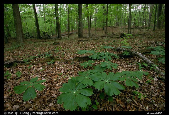 May apple plants with giant leaves on forest floor. Mammoth Cave National Park (color)