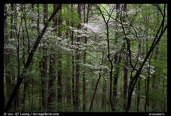 Blooming Dogwood trees in forest. Mammoth Cave National Park (color)