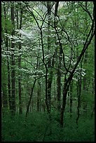 Blooming Dogwood trees in forest. Mammoth Cave National Park, Kentucky, USA. (color)